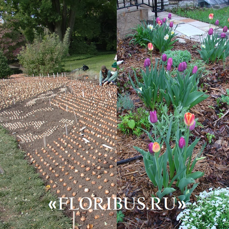 Тюльпаны посадка и уход в открытом грунте