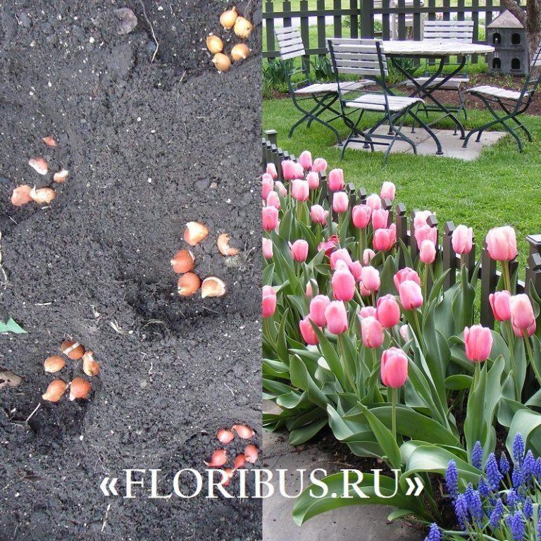 Фото с чем сажают тюльпаны 19