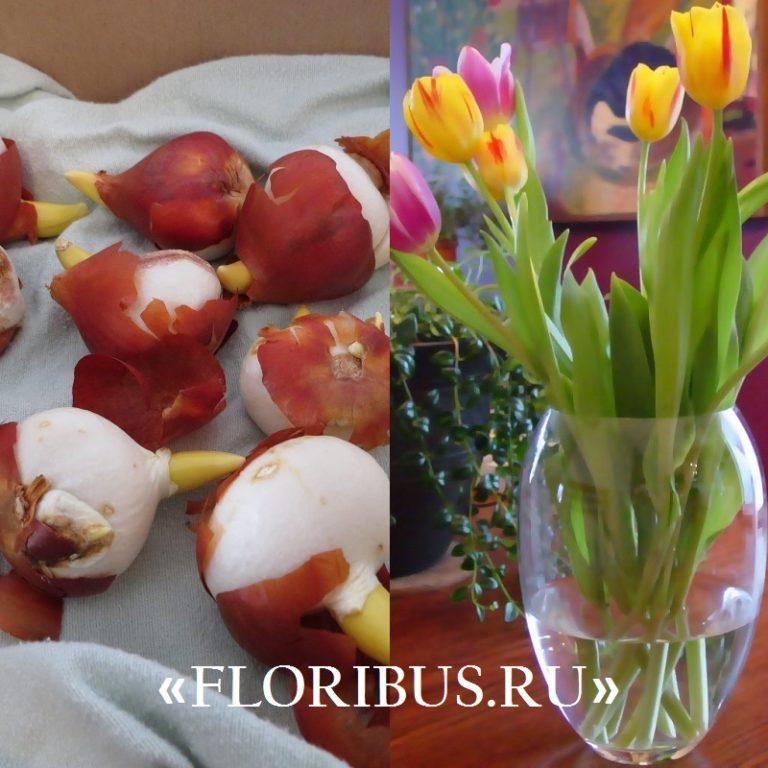 Как выращивать тюльпан в домашних условиях 848