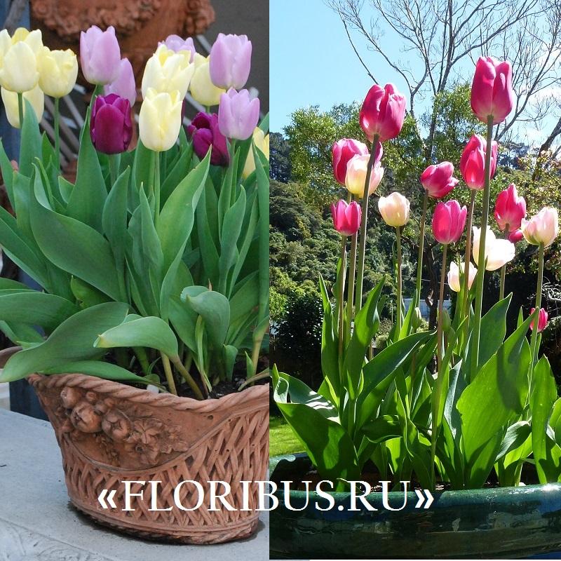 Сажать тюльпаны в доме 98