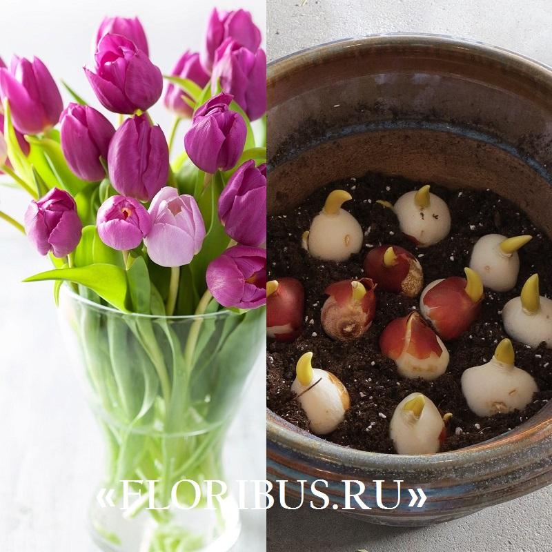 Как выращивать тюльпан в домашних условиях 482