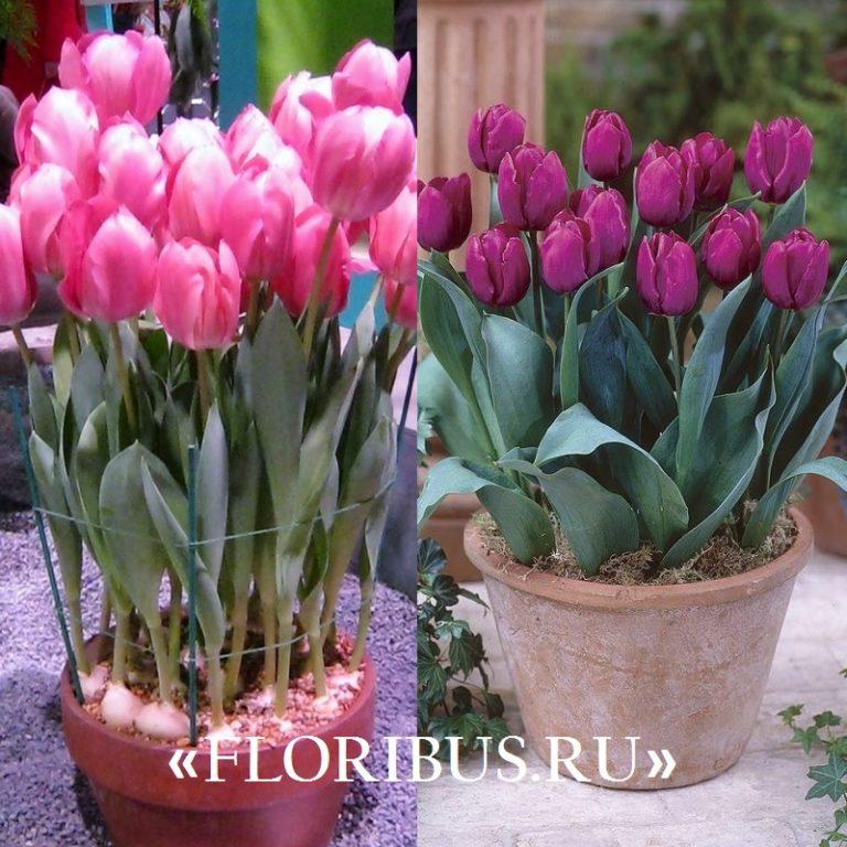 Тюльпаны выращивание в горшках на улице 29