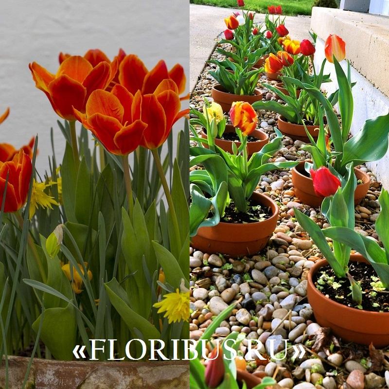 выгонка тюльпанов разных сортов