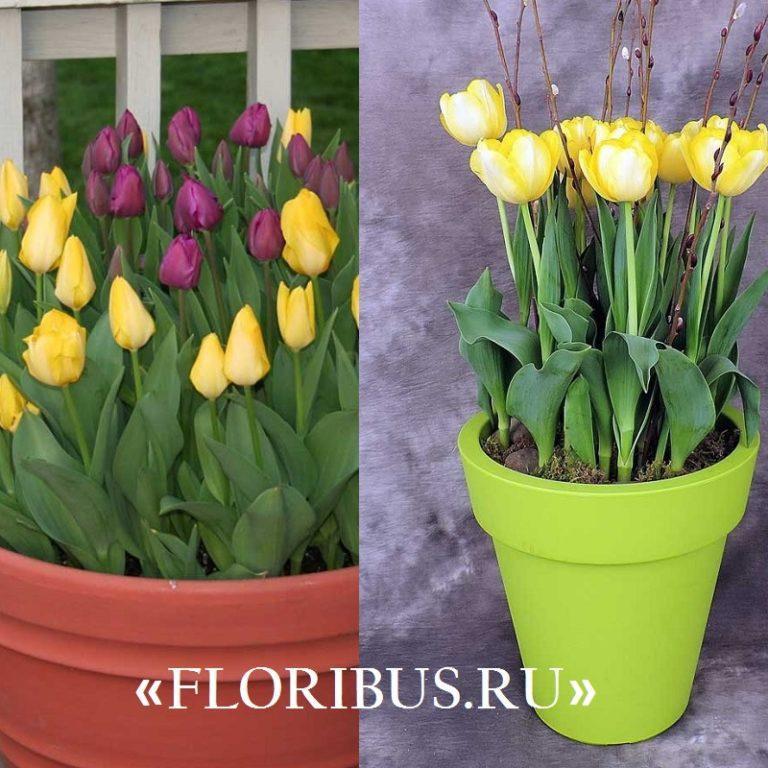 Как выращивать тюльпан в домашних условиях 520