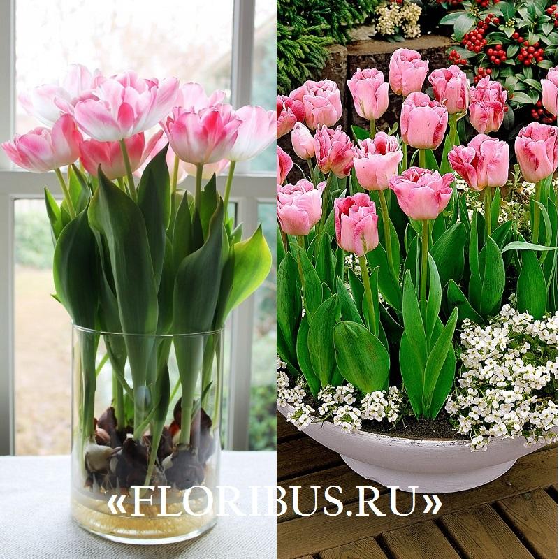 как вырастить тюльпаны в домашних условиях на фото