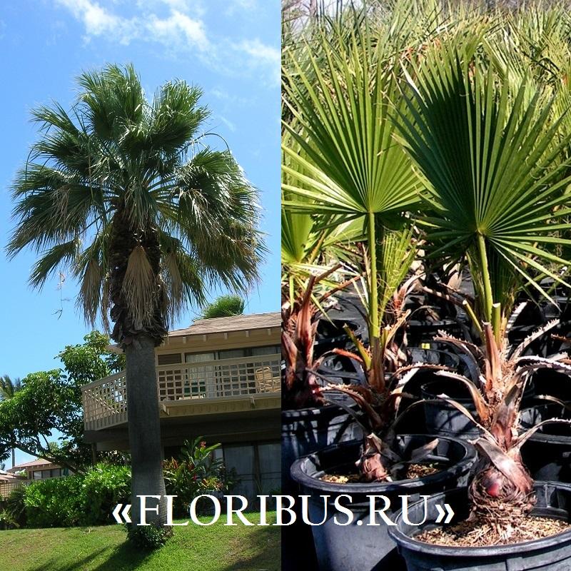 Пальма вашингтония в домашних условиях выращивание из семян 50