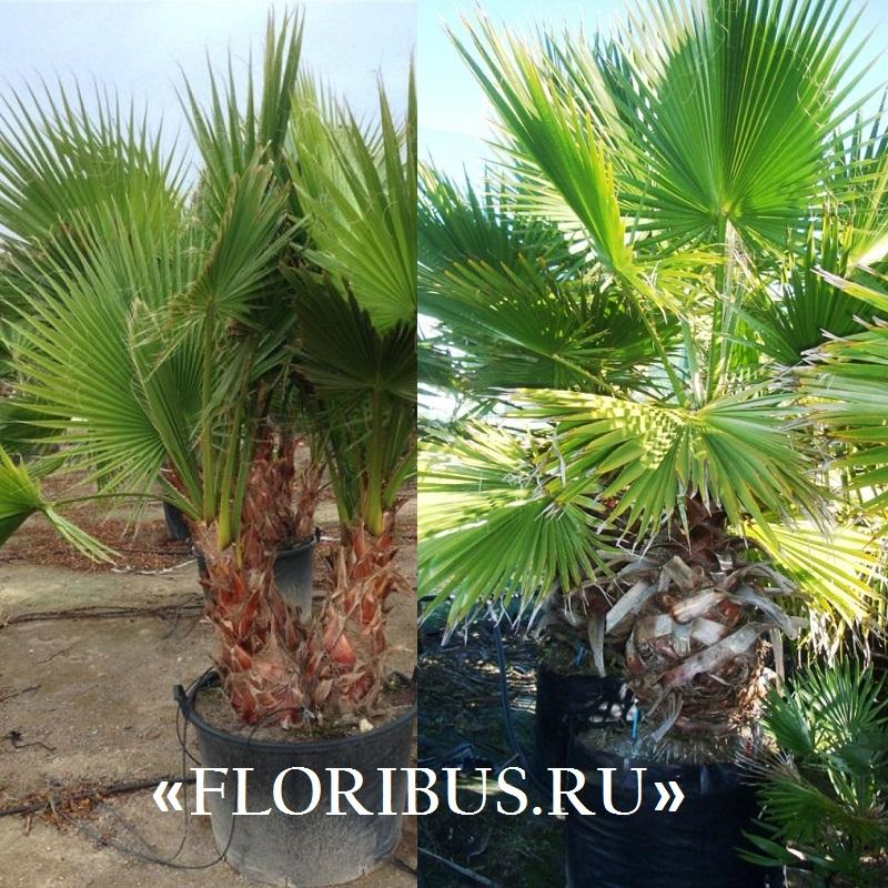 Пальма вашингтония в домашних условиях выращивание из семян 2