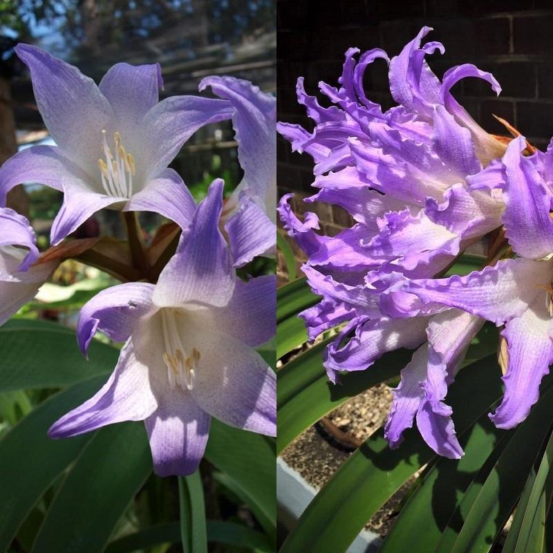 цветок ворслея на фото