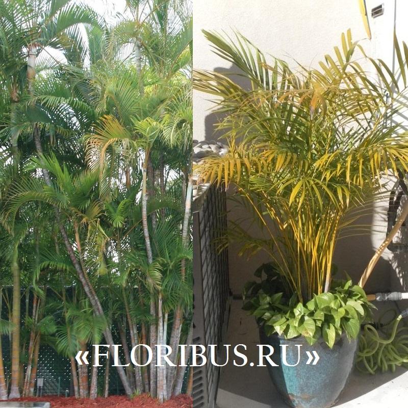 Пальмы все о пальмах в домашних условиях 658