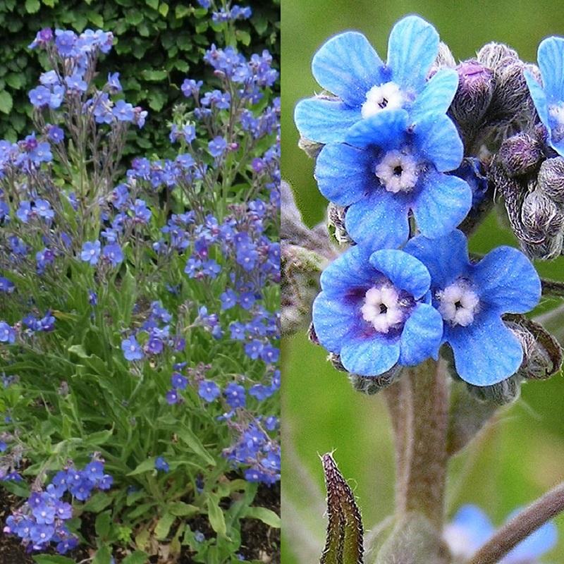 цветы анхуза на фото