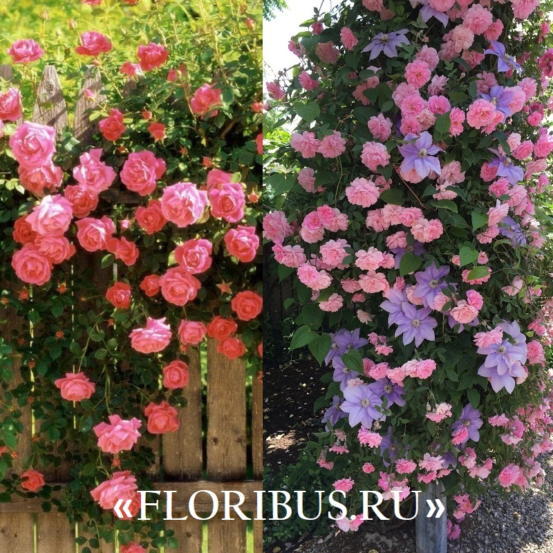 Плетистые розы для Подмосковья: неукрывные неприхотливые