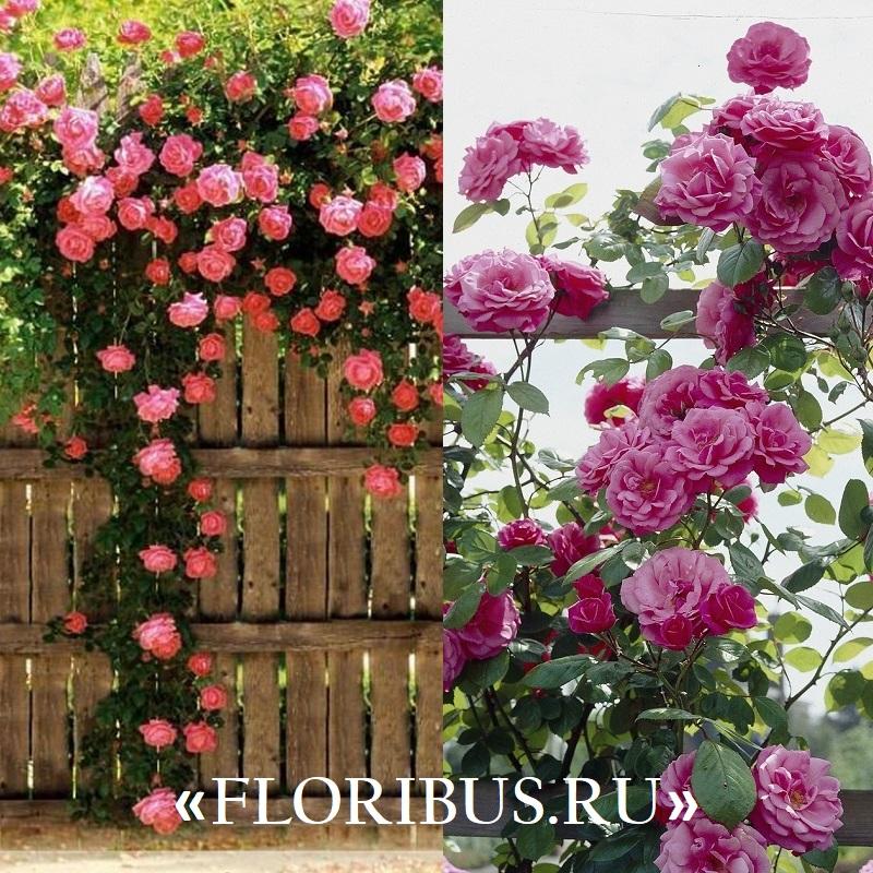 на фото плетистые розы