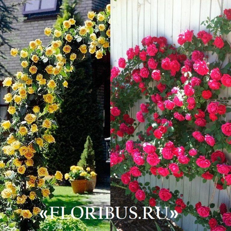 Выращивание розы плетистой в сибири 79