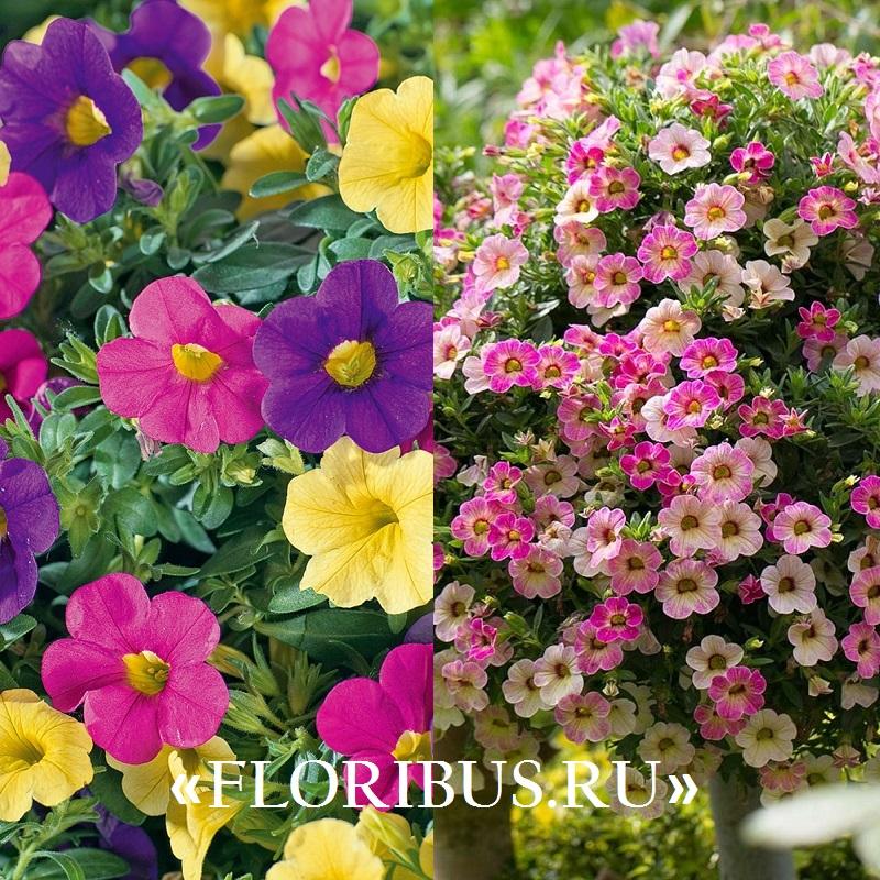 цветок калибрахоа на фото
