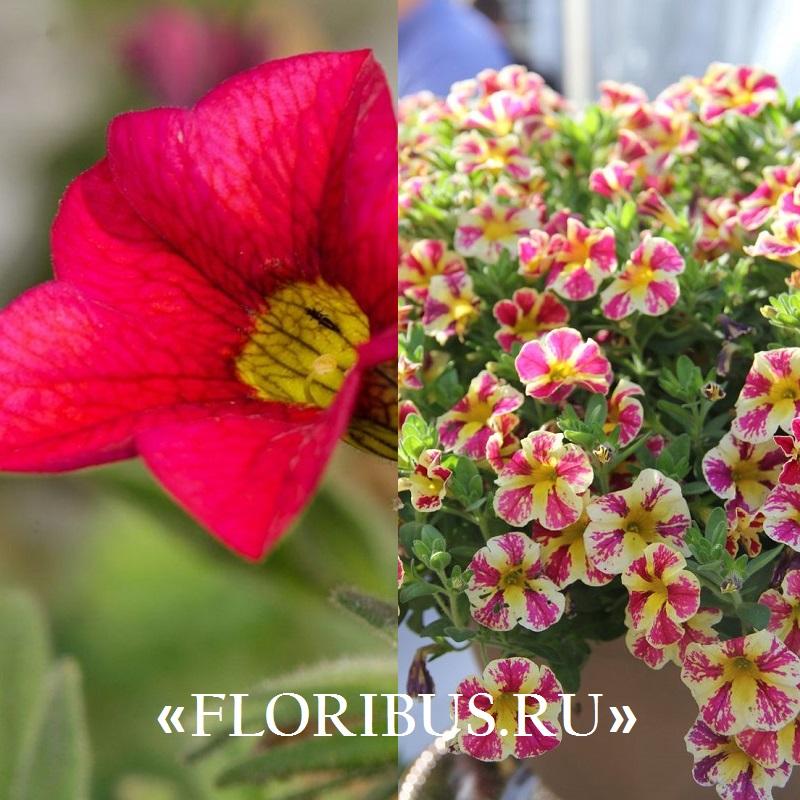 ампельные цветы калибрахоа на фото