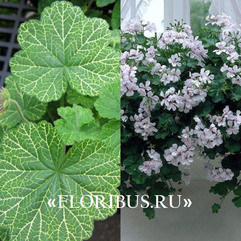 Pelargonium peltatum на фото