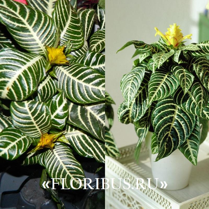 цветок афеландра на фото