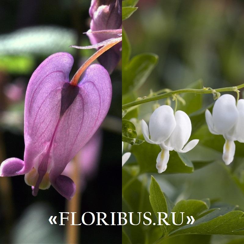 цветы дицентра на фото