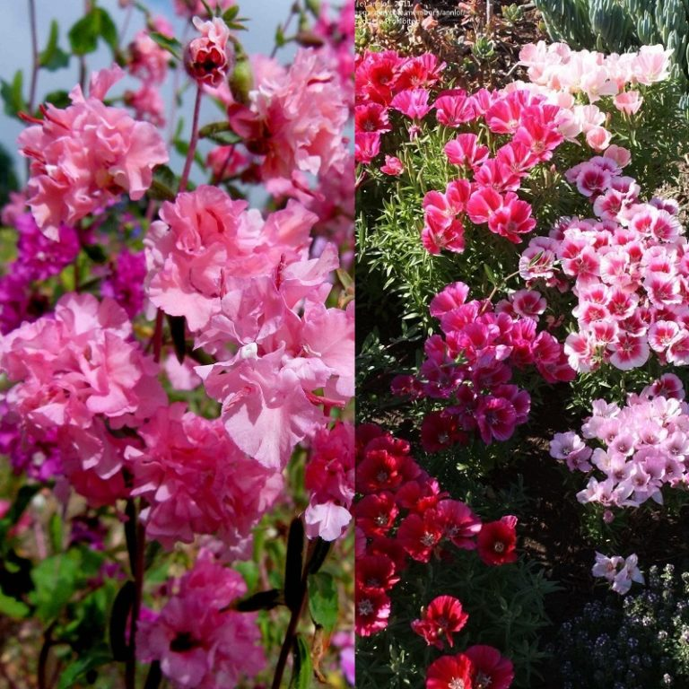 Цветы на рассаду годеция 684
