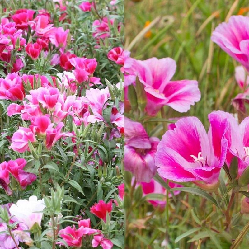 Цветы на рассаду годеция 711
