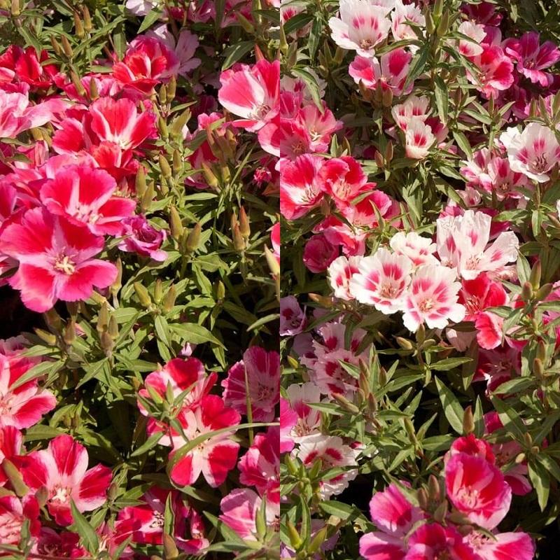 Цветы на рассаду годеция 564