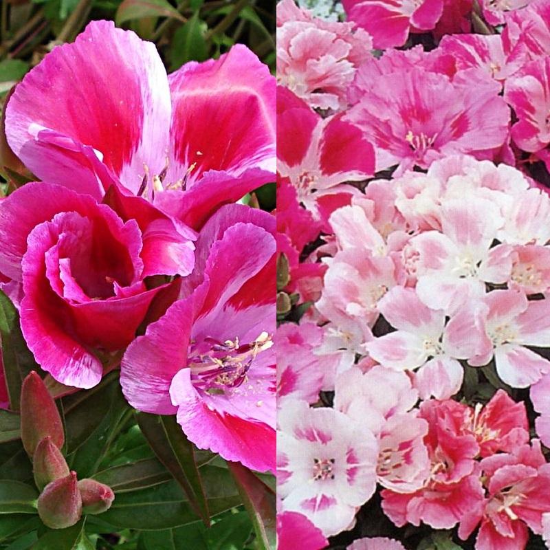 Цветы на рассаду годеция 154
