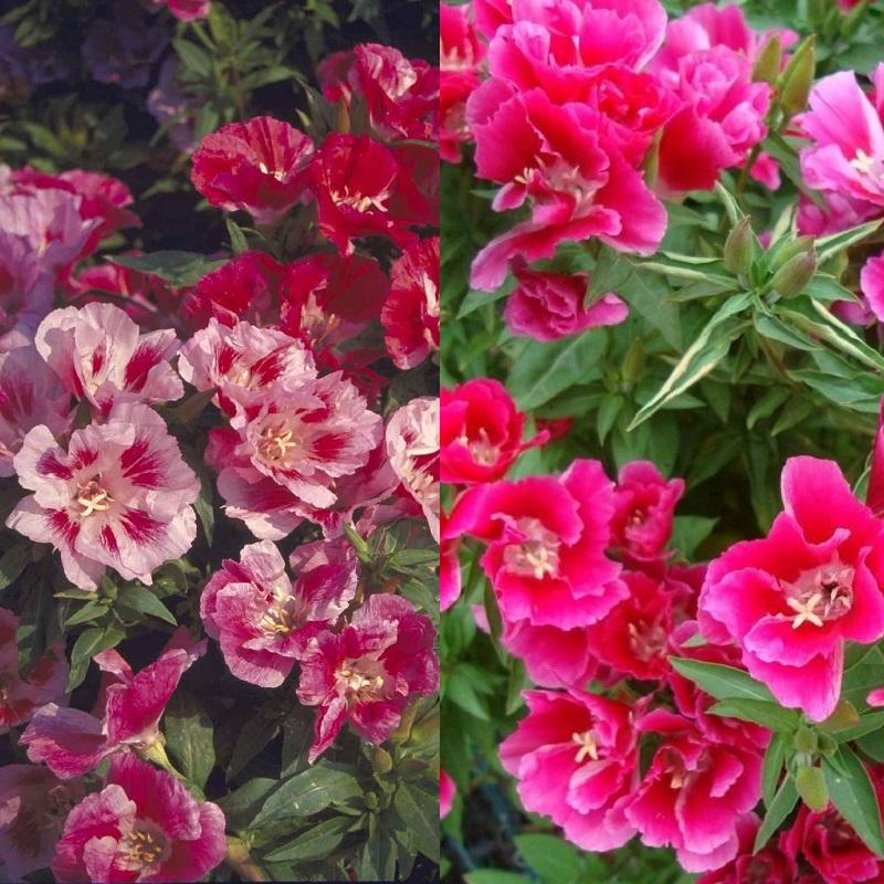 Цветы на рассаду годеция 925