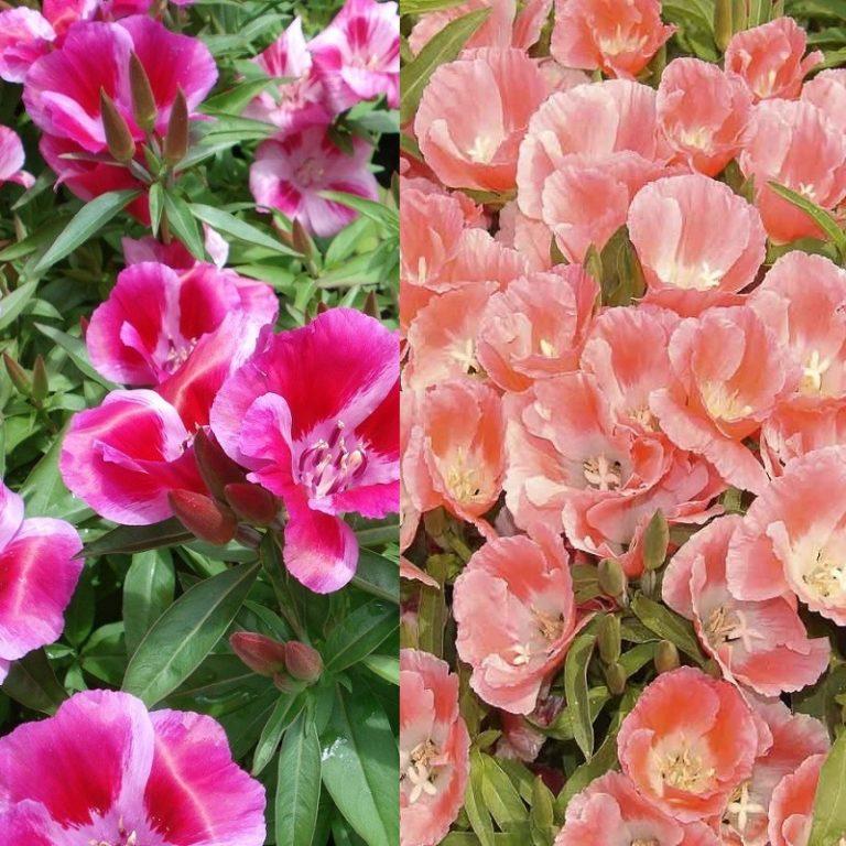 Годеция выращивание из семян когда сажать фото 19