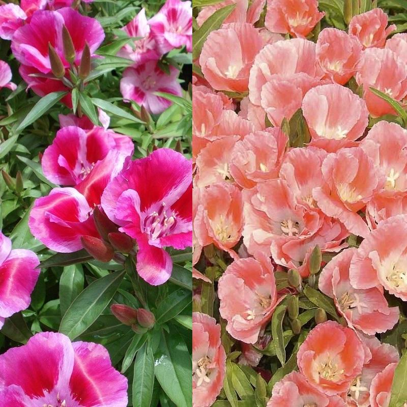 Цветы на рассаду годеция 196