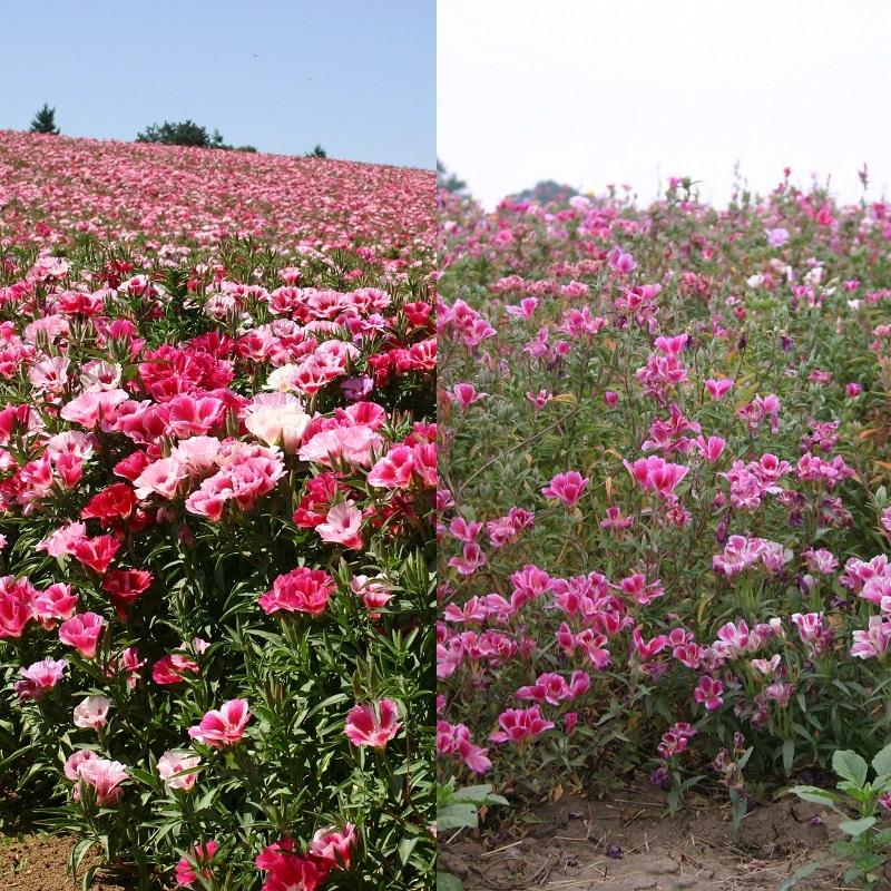 Годеция выращивание из семян когда сажать фото 7