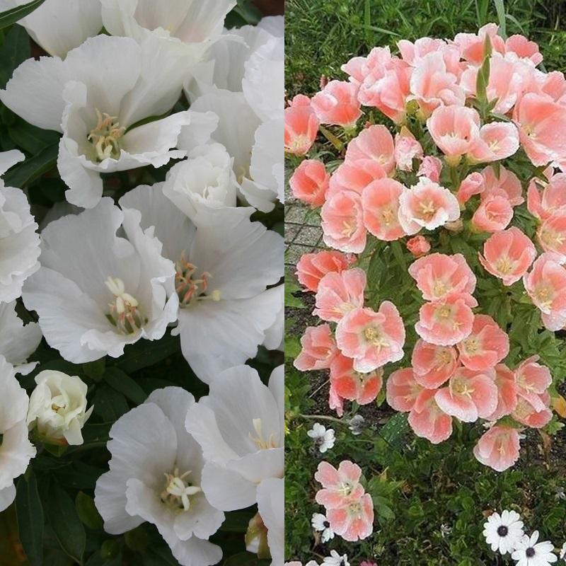 Цветы годеция когда сажать 350