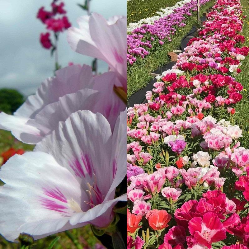 Цветы на рассаду годеция 595