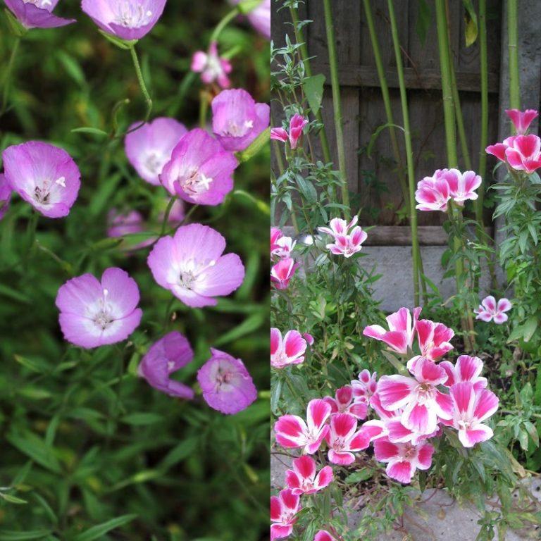 Годеция выращивание из семян когда сажать фото 84