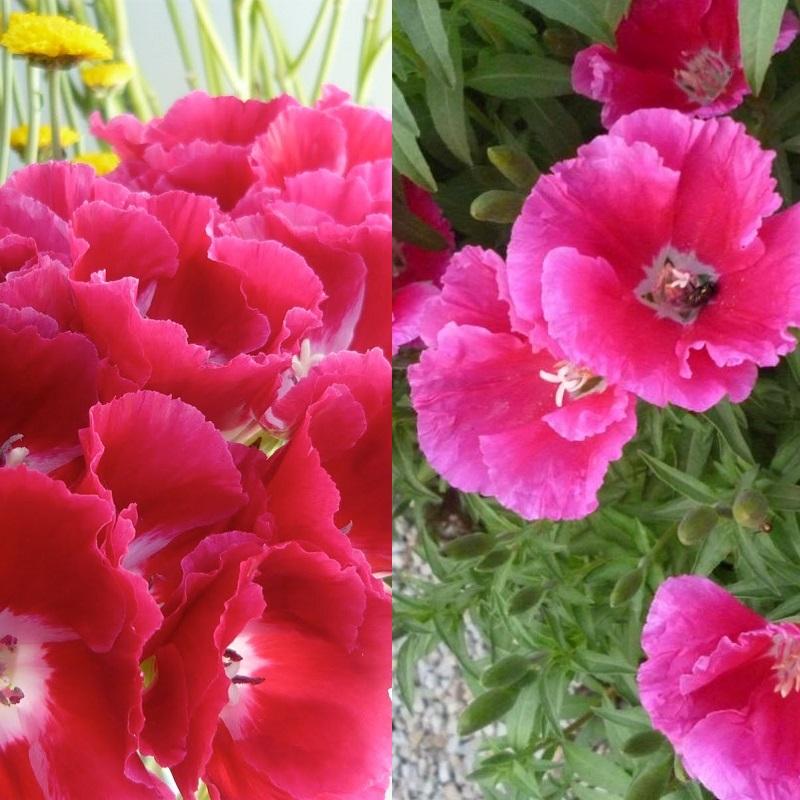 Годеция выращивание из семян когда сажать фото 25