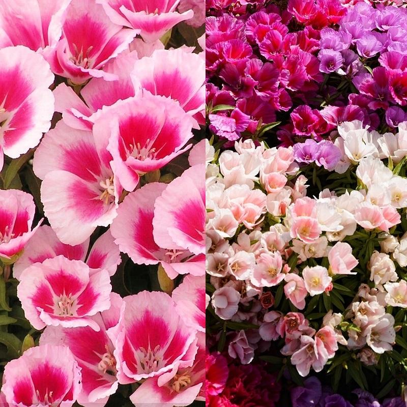 Цветы на рассаду годеция 250