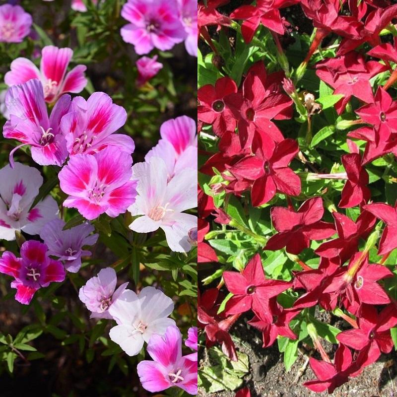 Цветы на рассаду годеция 576