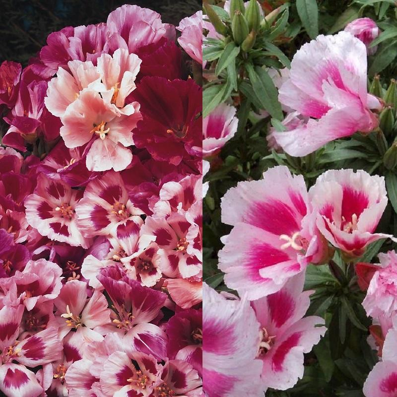 Цветы на рассаду годеция