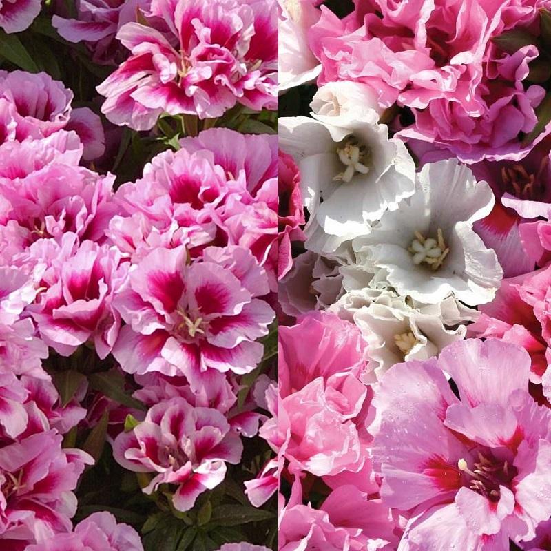 Цветы на рассаду годеция 3