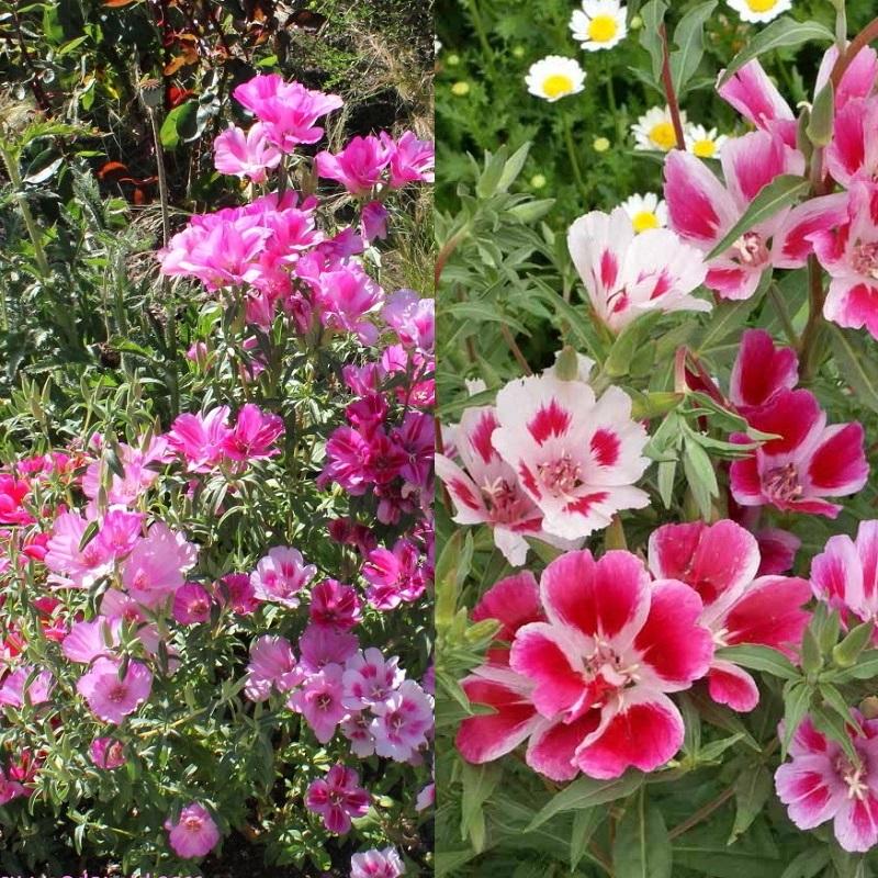Цветы на рассаду годеция 315