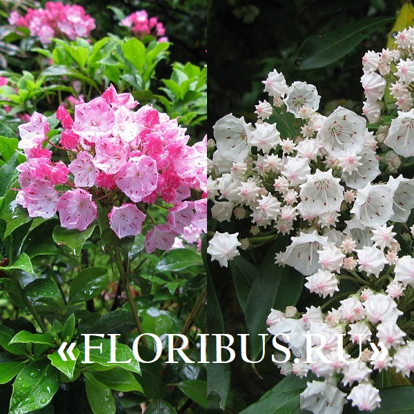 цветок кальмия