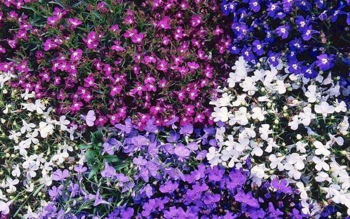 Лобелия фото цветов рассада 73