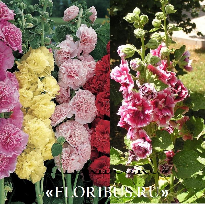 Цветок шток роза выращивание из семян 42
