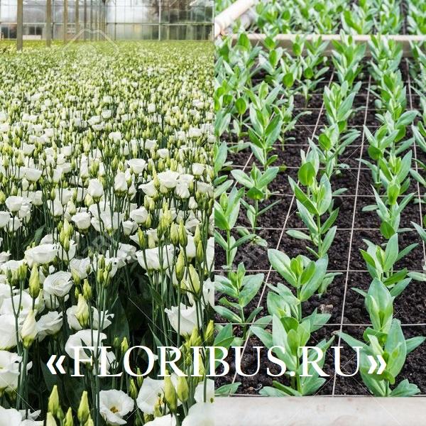Укроп посев выращивание и уход 69