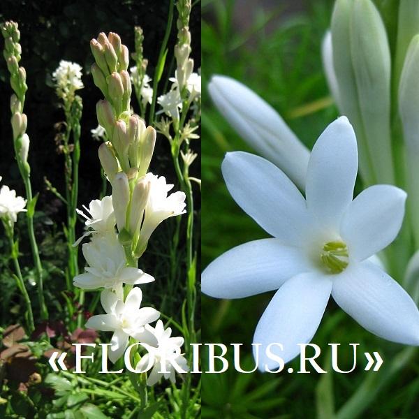 цветок полиантес