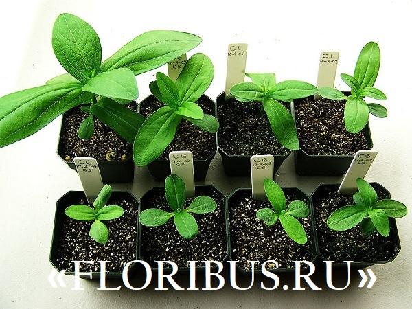 выращивание цинии рассадой