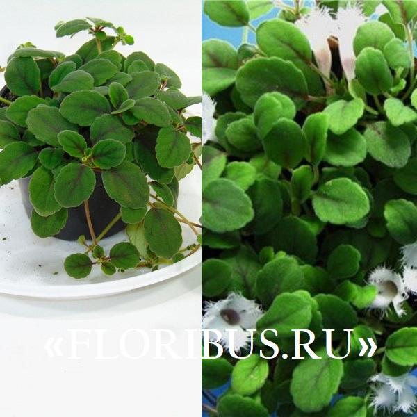 на фото показаны комнатные растения альсобии