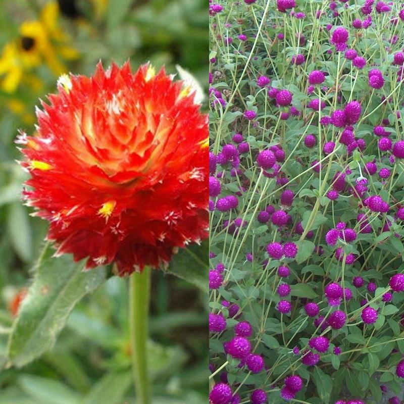Цветы гомфрена: посадка и уход