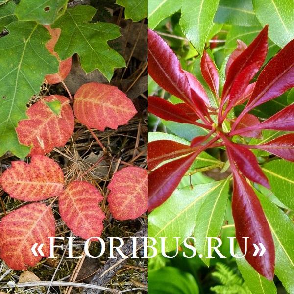 декоративный кустарник с красными листьями