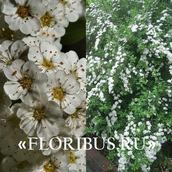 кустарники, цветущие белым цветом