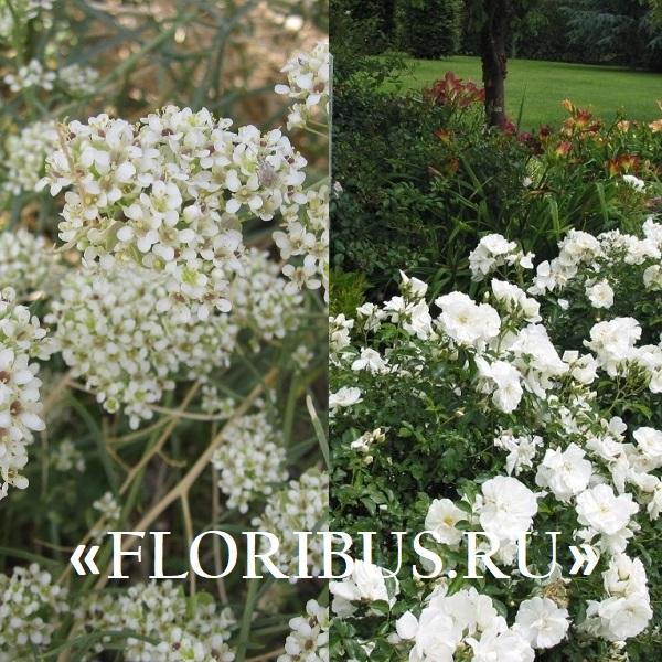 кустарники с белыми цветами